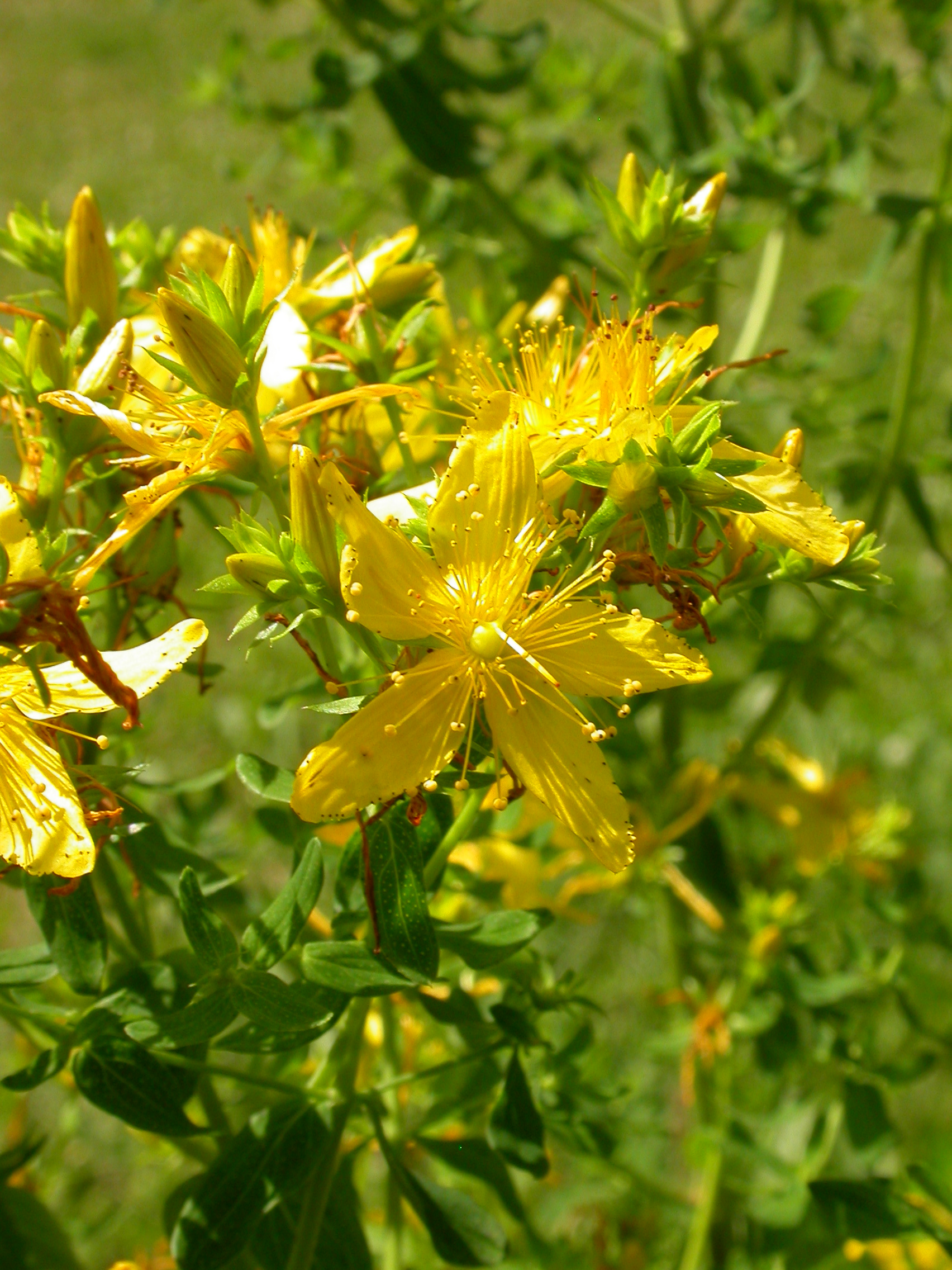 Flax-leaved St John s-wort videos, photos and facts - Hypericum St john's wort photo