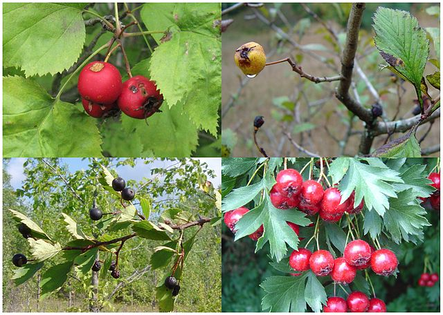 Various Crataegus species