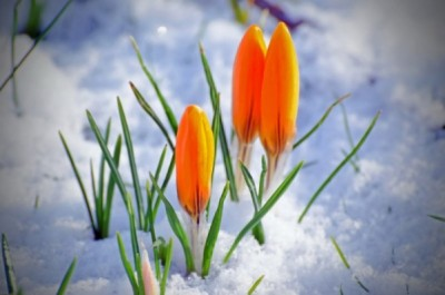 spring-flower-and-snow - public domain