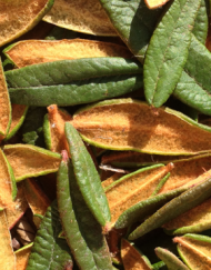 Picture of Labrador Tea leaves